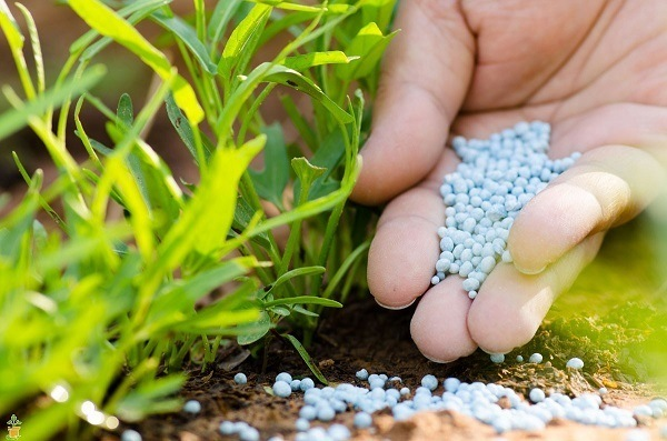 Using fertilizer for your plants.